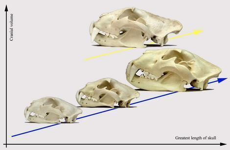 Comparison between greatest length of skull and cranial volume amongst leopard (left on the lower line), jaguar (centre on the lower line), lion (right on the lower line), and tiger (on the upper line).