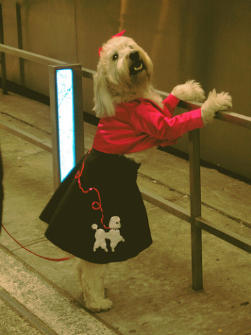 Wheaton Terrier in Poodle skirt: mockstar