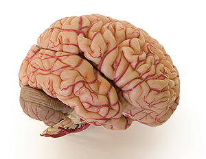 The human brain: via University of Connecticut