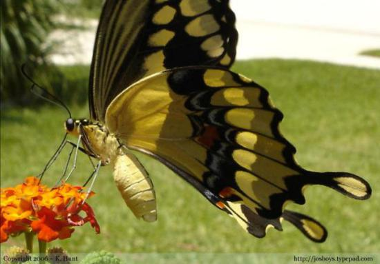 Giant Swallowtail Butterfly: K.Hunt via josboys.typepad.com