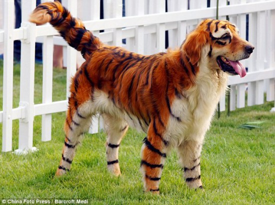 Golden Retriever in Tiger drag: image via DailyMail.co.uk