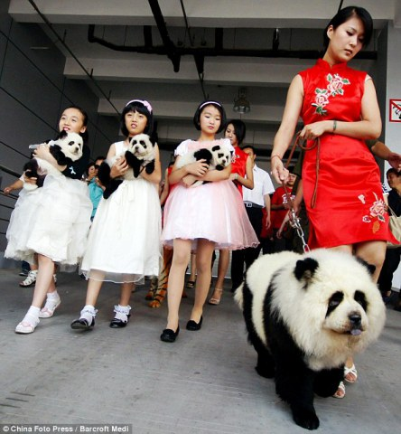 Chow Chows masquerade as baby Panda Bears: image via DailyMail.co.uk