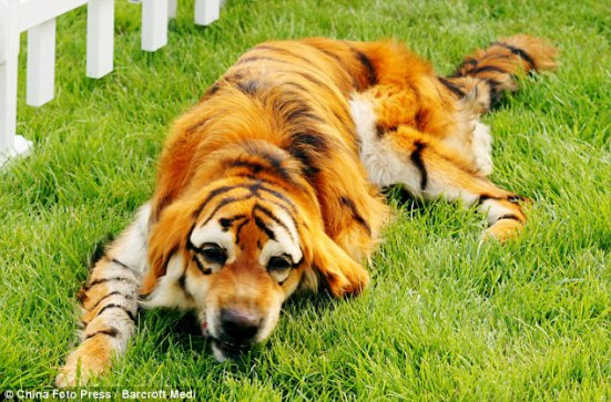 Bengal Tiger disguise: image via DailyMail.co.uk