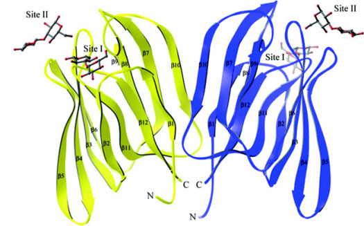 3-D structure of BanLec, a lectin in bananas identified as an HIV inhibitor: ©University of Michigan Medical School