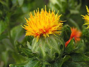 Orange-petalled Safflower from which Beni is derived