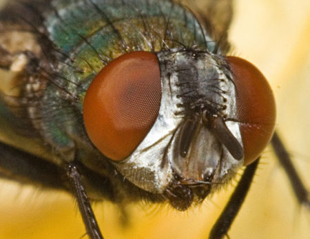 Head of a blow-fly.