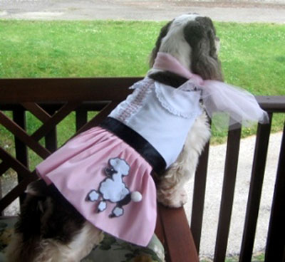 Brittainy Spaniel in Poodle Skirt/Dress