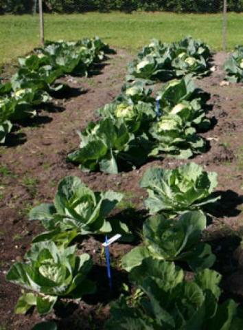 These cabbage plants were fertilized using human urine. (Helvi Heinonen-Tanski, University of Kuopio, Finland)