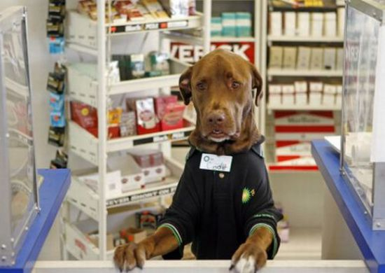 BP gas station&#039;s special attraction: A Labrador Retriever attendant