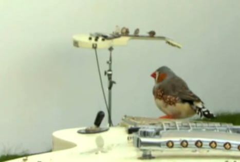 "Zebra finches make music at exhibit ""From Here To Ear"": image via The Wire, UK"