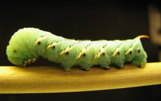 Manuca sexta Caterpillar, a gravity-defying little critter: image from Tufts University School of Arts & Sciences via ScienceNow