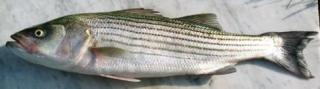 Striped bass.